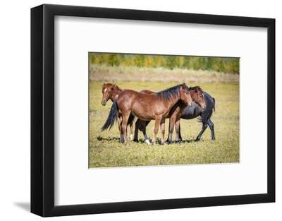 USA, Colorado, San Luis. Wild horse herd.-Jaynes Gallery-Framed Photographic Print
