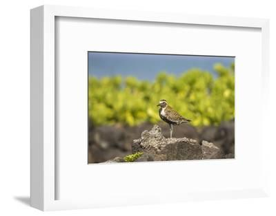 USA, Hawaii, Honokohau Bay. Pacific golden plover close-up.-Jaynes Gallery-Framed Photographic Print