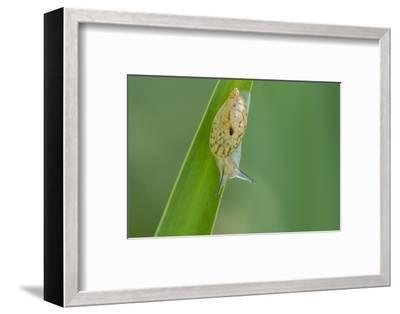 USA, Louisiana, Lake Martin. Snail on leaf.-Jaynes Gallery-Framed Photographic Print