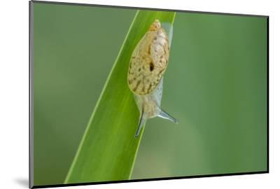 USA, Louisiana, Lake Martin. Snail on leaf.-Jaynes Gallery-Mounted Photographic Print