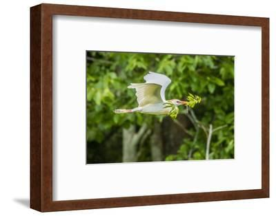 USA, Louisiana, Vermilion Parish. Cattle egret carrying nest material.-Jaynes Gallery-Framed Photographic Print