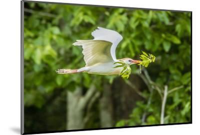 USA, Louisiana, Vermilion Parish. Cattle egret carrying nest material.-Jaynes Gallery-Mounted Photographic Print