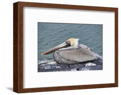 Brown pelican, New Smyrna Beach, Florida, USA-Lisa Engelbrecht-Framed Photographic Print