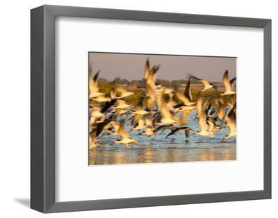Fort De Soto Park, Pinellas County, St. Petersburg, Florida. A black skimmers blast off the beach.-Deborah Winchester-Framed Photographic Print