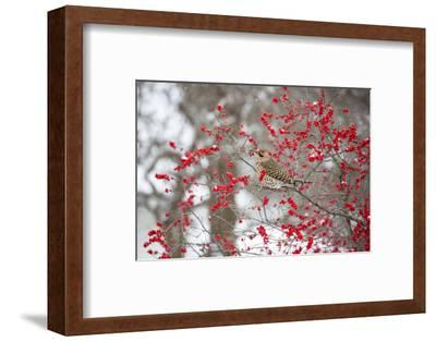 Northern Flicker (Colaptes auratus) male in Winterberry bush in winter, Marion County, Illinois-Richard & Susan Day-Framed Photographic Print