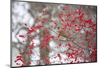 Northern Flicker (Colaptes auratus) male in Winterberry bush in winter, Marion County, Illinois-Richard & Susan Day-Mounted Photographic Print