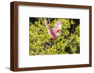 USA, Louisiana, Vermilion Parish. Roseate spoonbill taking flight.-Jaynes Gallery-Framed Photographic Print