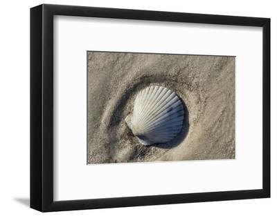 Seashell, Honeymoon Island State Park, Dunedin, Florida, USA-Jim Engelbrecht-Framed Photographic Print