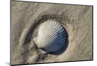 Seashell, Honeymoon Island State Park, Dunedin, Florida, USA-Jim Engelbrecht-Mounted Photographic Print