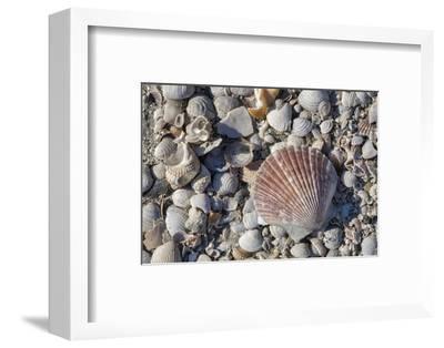 Seashells, Honeymoon Island State Park, Dunedin, Florida, USA-Jim Engelbrecht-Framed Photographic Print