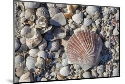 Seashells, Honeymoon Island State Park, Dunedin, Florida, USA-Jim Engelbrecht-Mounted Photographic Print