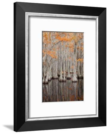 USA, George Smith State Park, Georgia. Fall cypress trees.-Joanne Wells-Framed Photographic Print