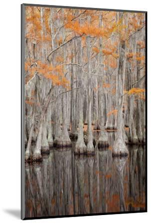 USA, George Smith State Park, Georgia. Fall cypress trees.-Joanne Wells-Mounted Photographic Print