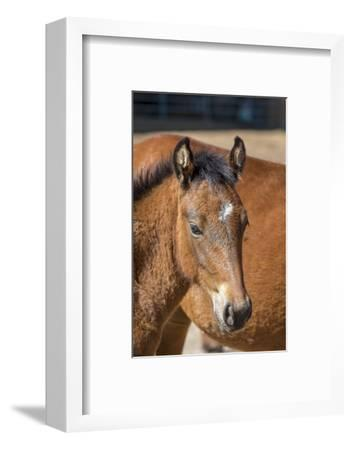 USA, Colorado, San Luis. Wild horse foal close-up.-Jaynes Gallery-Framed Photographic Print