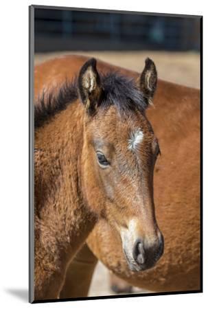 USA, Colorado, San Luis. Wild horse foal close-up.-Jaynes Gallery-Mounted Photographic Print