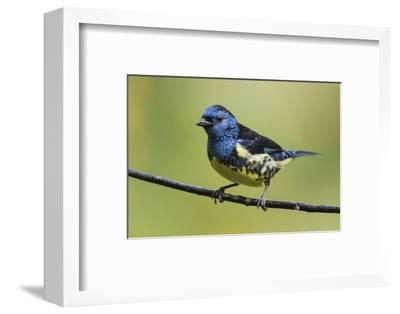 Turquoise tanager-Ken Archer-Framed Photographic Print