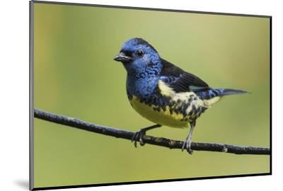 Turquoise tanager-Ken Archer-Mounted Photographic Print
