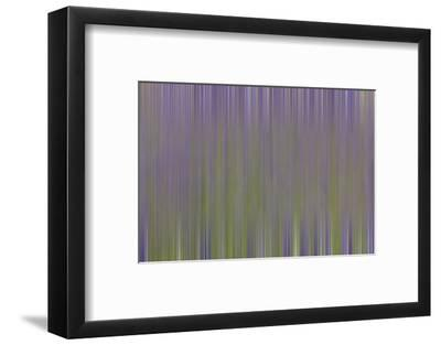 USA, California, Napa Valley. Abstract of blooming lupine flowers.-Jaynes Gallery-Framed Photographic Print