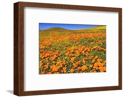 USA, California, Antelope Valley State Poppy Reserve. Poppies and goldfields cover hillsides.-Jaynes Gallery-Framed Photographic Print