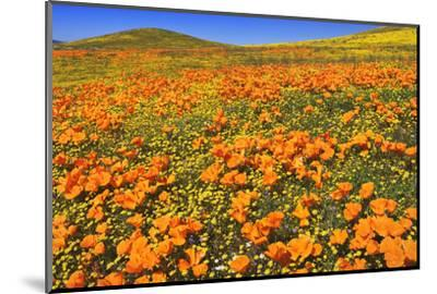 USA, California, Antelope Valley State Poppy Reserve. Poppies and goldfields cover hillsides.-Jaynes Gallery-Mounted Photographic Print