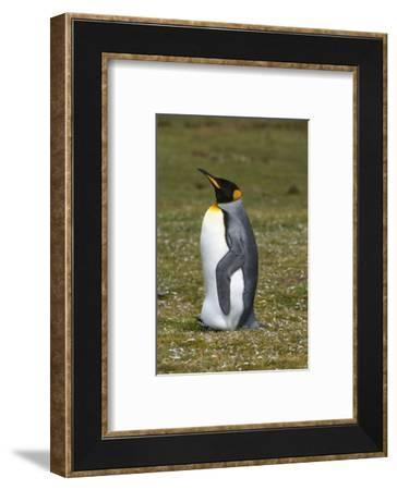 Portrait of a King penguin, Aptenodytes patagonica.-Sergio Pitamitz-Framed Photographic Print