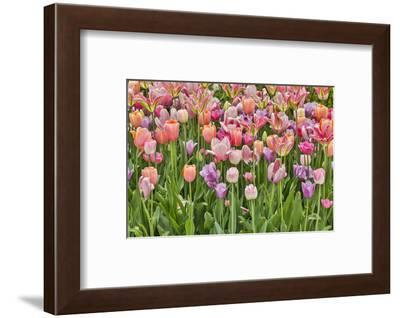 USA, Delaware, Hockessin. Tulips-Hollice Looney-Framed Photographic Print