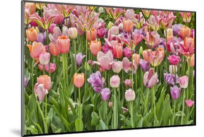 USA, Delaware, Hockessin. Tulips-Hollice Looney-Mounted Photographic Print