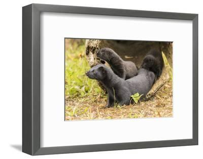 USA, Minnesota, Pine County. Captive adult and baby minks.-Jaynes Gallery-Framed Photographic Print
