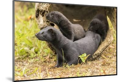 USA, Minnesota, Pine County. Captive adult and baby minks.-Jaynes Gallery-Mounted Photographic Print