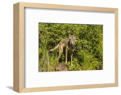 USA, Minnesota, Pine County. Captive gray wolf adult.-Jaynes Gallery-Framed Photographic Print