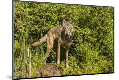 USA, Minnesota, Pine County. Captive gray wolf adult.-Jaynes Gallery-Mounted Photographic Print