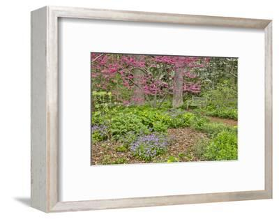 USA, Delaware, Hockessin. Flowering dogwood in the forest-Hollice Looney-Framed Photographic Print
