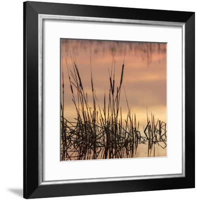 Cattails at sunrise, Bosque del Apache National Wildlife Refuge, New Mexico-Maresa Pryor-Framed Photographic Print