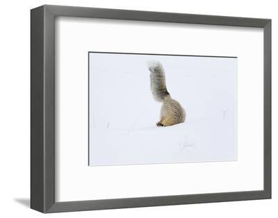 Wyoming, Yellowstone NP. A red fox is headfirst in the snow to get a rodent.-Ellen Goff-Framed Photographic Print