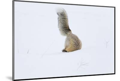 Wyoming, Yellowstone NP. A red fox is headfirst in the snow to get a rodent.-Ellen Goff-Mounted Photographic Print