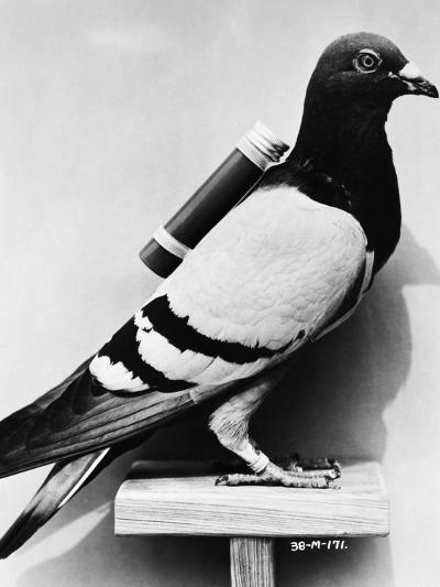 U.S. Army Carrier Pigeon-Philip Gendreau-Photographic Print