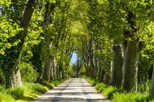 France, Provence, Bouches-Du-Rh?ne, Camargue, Salin-De-Giraud, Plane Tree Avenue by Udo Siebig