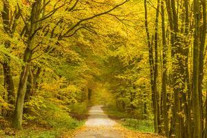 Germany, Hessen, Taunus, Niedernhausen, Beech Forest at the Hammersberg, Hammersberg Circular Route by Udo Siebig