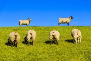 Germany, Schleswig-Holstein, North Frisia, Peninsula North Beach, Pohnshalligkoog, Dyke, Sheeps by Udo Siebig