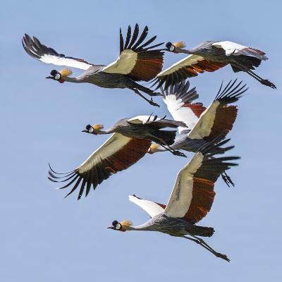 Uganda, Sipi. Grey Crowned Cranes in Flight. This Striking Species Is the National Bird of Uganda.-Nigel Pavitt-Photographic Print