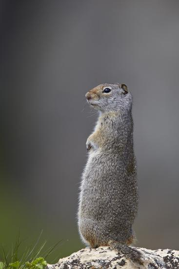 Uinta Ground Squirrel (Urocitellus Armatus), Yellowstone National Park, Wyoming, U.S.A.-James Hager-Photographic Print