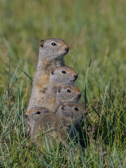 Uinta Ground Squirrels are Common Rodents in the Dry Meadows of Northern Yellowstone-Tom Murphy-Photographic Print
