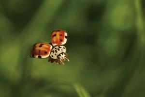 A Ladybug, Coccinella Septempunctata, in Flight by Ulla Lohmann