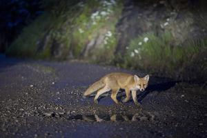 A Young Red Fox, Vulpes Vulpes, Crossing a Gravel Road at Night by Ulla Lohmann