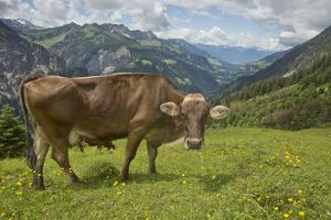 Portrait of a Free-Roaming Dairy Cow in the Austrian Alps in Summer by Ulla Lohmann