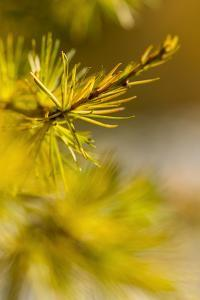 The Needles of the Larix Decidua, or European Larch, from the Treeline at 1900 Meters by Ulla Lohmann