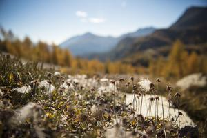 The Seedcases of the Mountain Avens, Dryas Octopetala, in the Passo Rolle by Ulla Lohmann