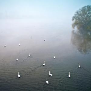 Swans in Log on River Neckar by Ulrich Mueller