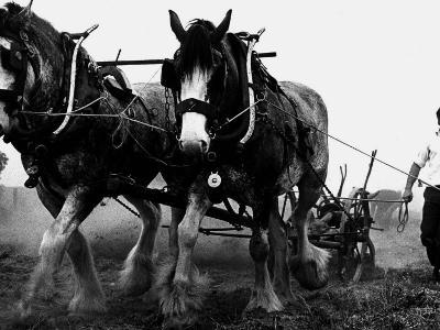 Ulster Clydesdale Pulling a Plough, July 1983--Photographic Print