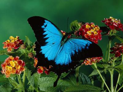 Ulysses Butterfly (Papilio Ulysses) on Flowers, Kuranda State Forest, Queensland, Australia-Michael and Patricia Fogden/Minden Pictures-Photographic Print